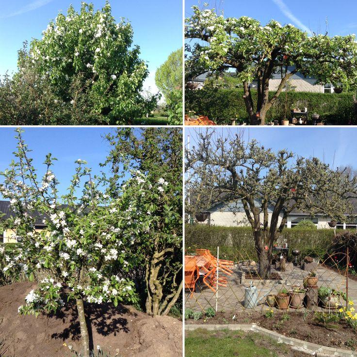 Pæretræer i min have.