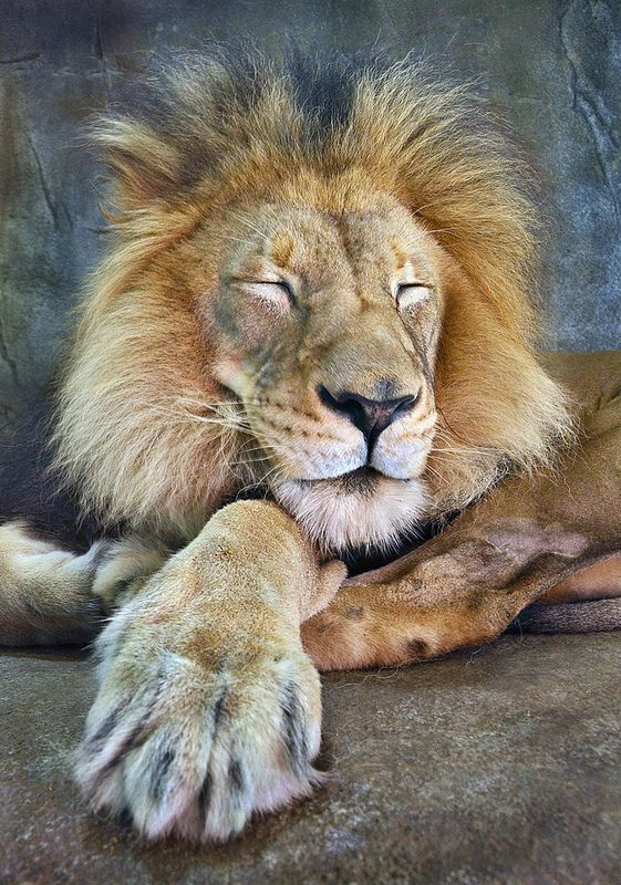 A lion's life is filled with sleeping, napping, and resting.