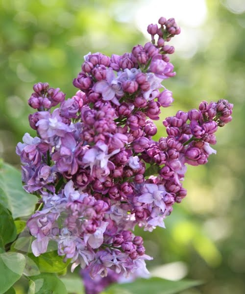 One Of The Best Purple Bloomed Lilacs For Zone 3 Syringa
