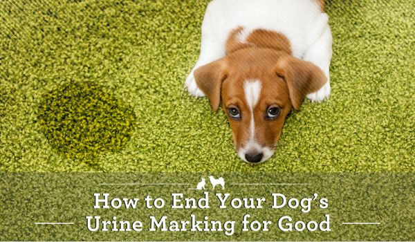 End Your Dog S Urine Marking For Good Dog Urine Dogs Dog