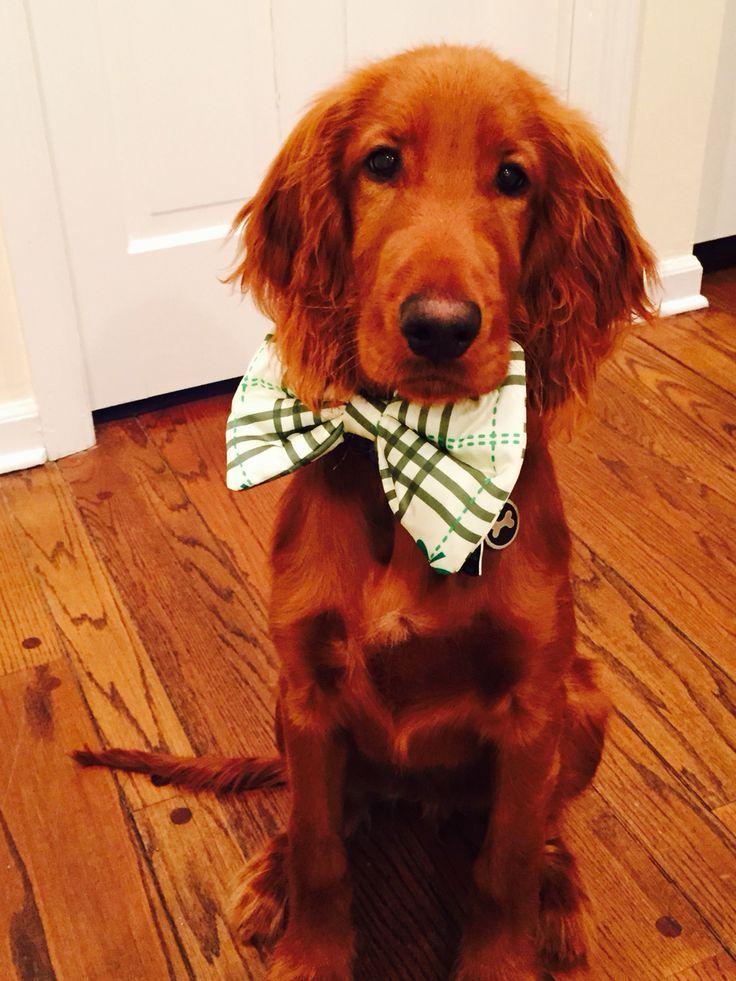 Irish Setter puppy/St. Patrick's Day