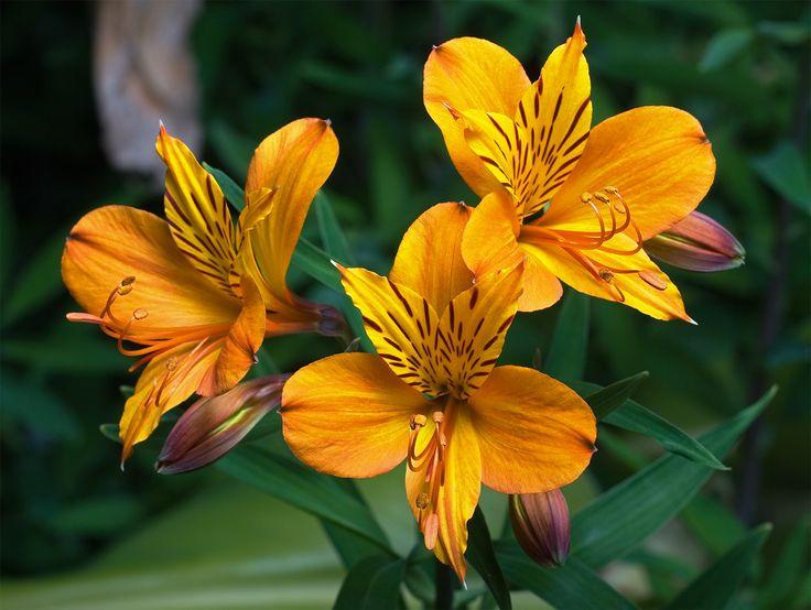 Alstroemeria_aurantiaca.jpg (1639×1235)