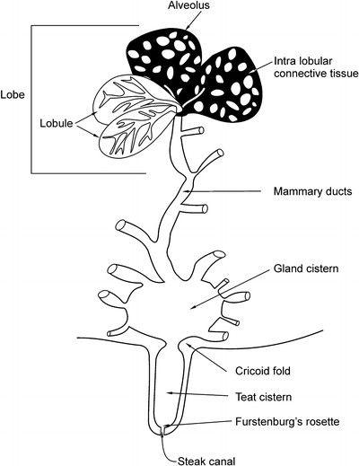 Figure 2: 3.2 Mammary duct and lobule alveolar system [46]