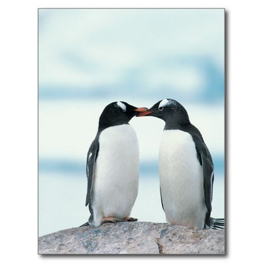 Two Penguins touching beaks Postcard #cute #valentine