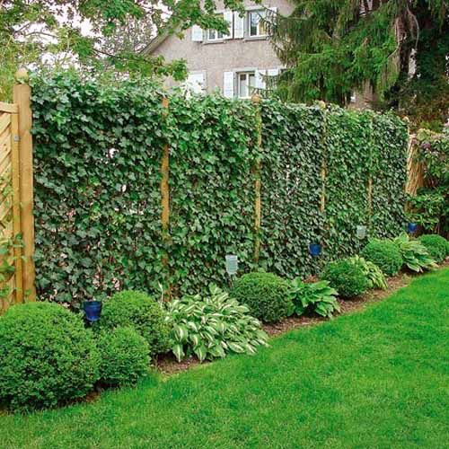 20 green fence designs plants to beautify garden design for Green bushes for landscaping