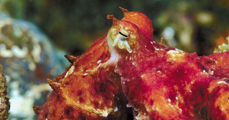 Ambiente para un pulpo. Los pulpos son cefalópodos marinos que viven en áreas oceánicas templadas del mundo. Con 289 especies, los pulpos son una de las contingencias más grandes de los cefalópodos en el mundo. Todas las especies de pulpo tienen características físicas diferentes, pero comparten ambientes similares. Estos animales de la fauna marina son muy inteligentes ...