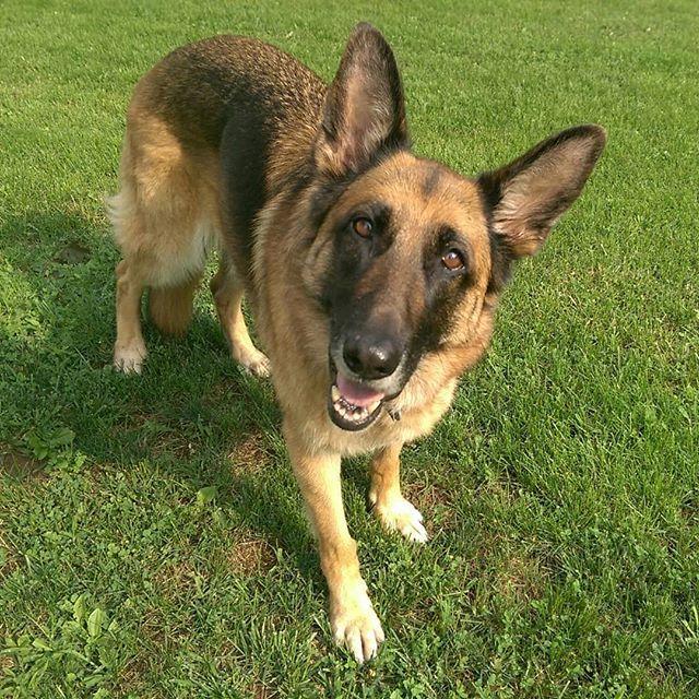Jax Is Excited About Spring Germanshepherd Dogstagram