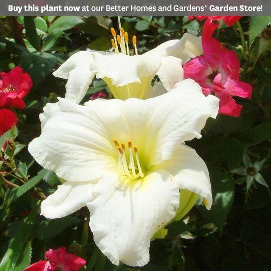 Hemerocallis Lady Elizabeth: Gardens Beds, Partial Sun, Daylily Perennials, Elizabeth Daylily, White Daylily, Flower Gardens, Ladies Elizabeth, Day Lilies, Bhg Daylily