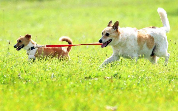 Psychiatric Service Dog Australia