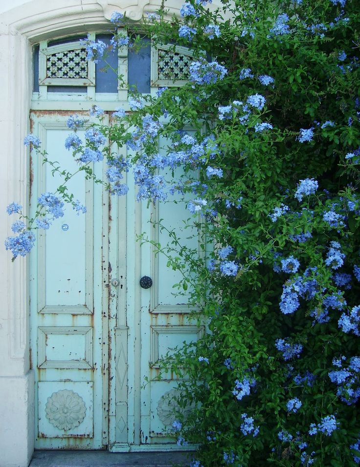 What an entrance! Lush plumbago by the front door...