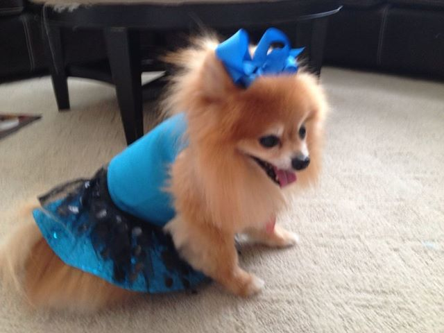 pomeranian outfits my pom after the girls dressed him in their doll s clothes 458