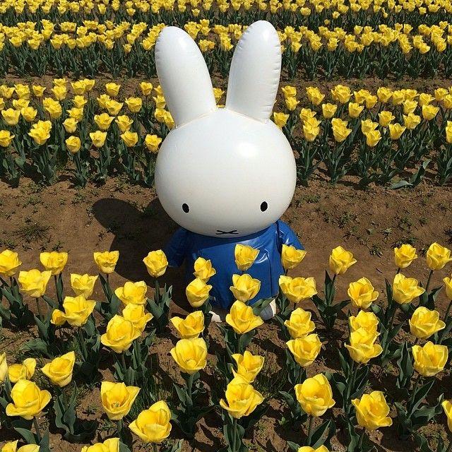 #Miffy #tulips