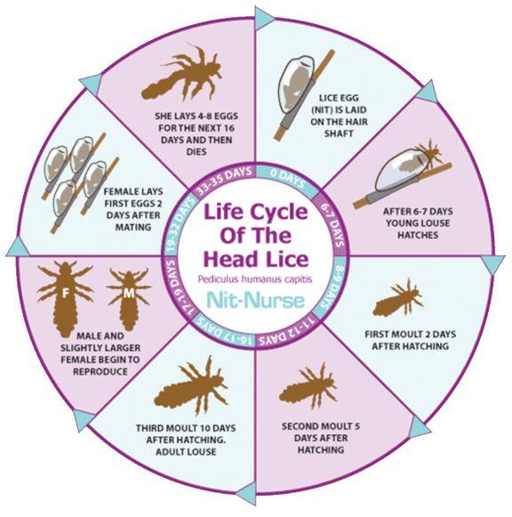my hair helpers head lice life cycle chart