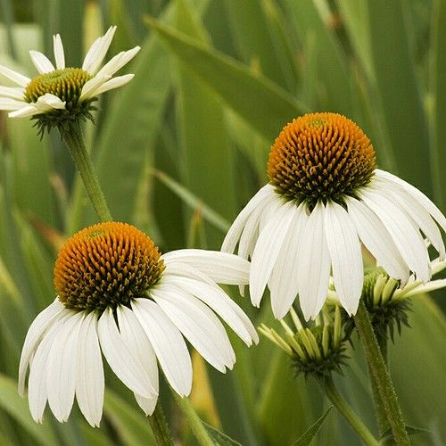 ECHINACEA WHITE SWAN :: 50 seeds via Green Seed Tasmania. Click on the image to see more!