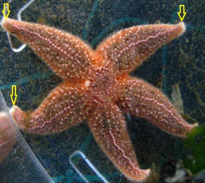 10 Surprising Facts About Starfish: Sea stars have eyes.