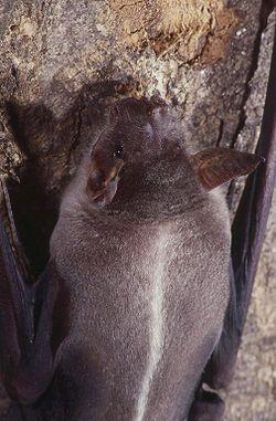 l murciélago pescador (Noctilio leporinus) es una especie de quiróptero que habita en zonas de bosque húmedo, desde México hasta el norte de Argentina, incluidas las Antillas. Otra especie del mismo género, el murciélago pescador menor (Noctilio albiventris) es un piscívoro ocasional. Existen tres especies de murciélagos que comen peces y su cuerpo está perfectamente adaptado para pescarlos. Este extraordinario mamífero volador sale a pescar en las noches.
