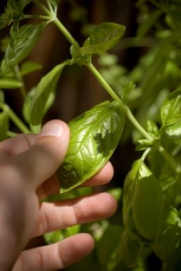 Harvesting basil....I seriously have so much basil in my garden it is out of control!