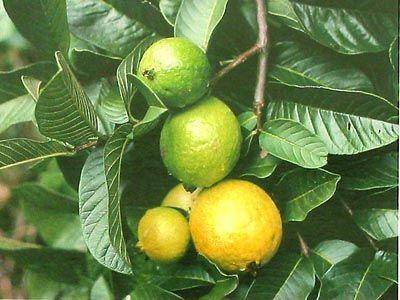 Hawaiian Guava Fruit Plant (Psidium guajava) ~ Grow Hawaii  // More lycopene than even a tomato!