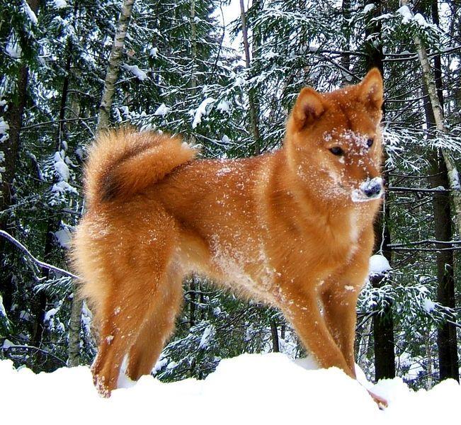 Карело-финская лайка (фото): грациозный и ловкий охотник