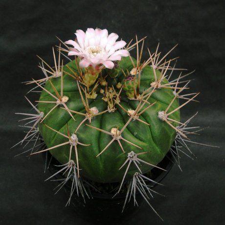 Gymnocalycium eurypleurum P 434  Cerro Leon, Nueva Asuncion, Paraguay  --ex Uhlig (2007)