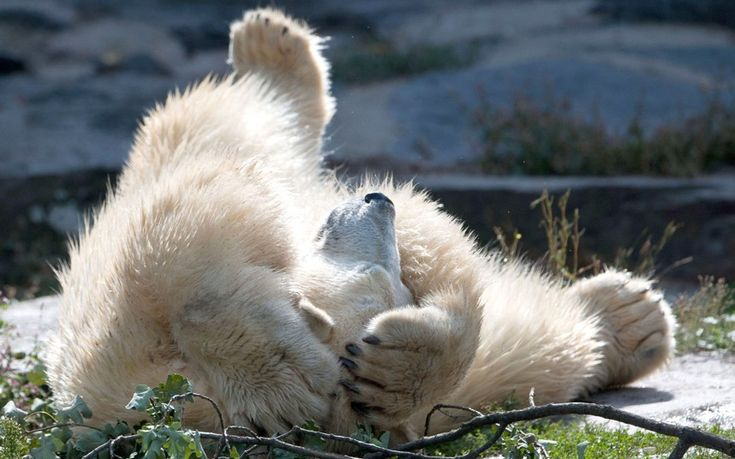 Wolodja, a young polar bear (Ursus maritimus), plays in his enclosure at Tierpark Berlin in Berlin-Friedrichsfelde, Germany. The two-year-old male bear was born in Moscow on 27 November 2011 and arrived at Tierpark Berlin on 09 August 2013. In Berlin, Wolodja is meant to be a mate for female polar bear Tonja.