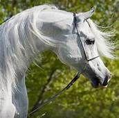 dream manor egyptian arabian horses - Yahoo Image Search Results