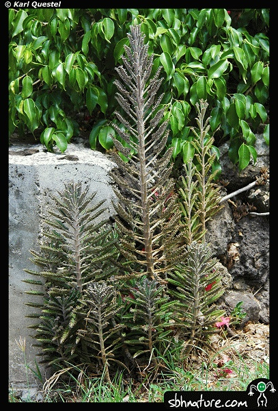 how to grow a kalenchoe plant from clippings