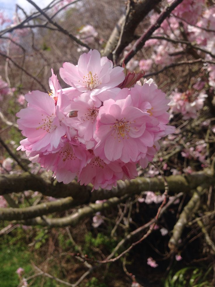Blossom Pink flowers spring