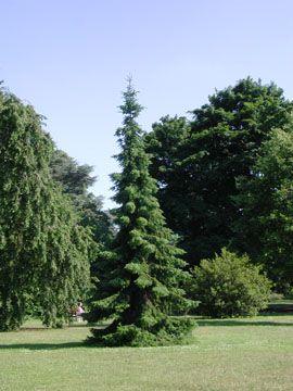 Picea omorika (Serbian spruce) dwarf