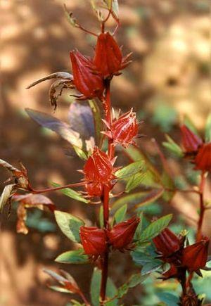 Beneficios y Propiedades de la Flor de Jamaica, fuera esos kilitos de más