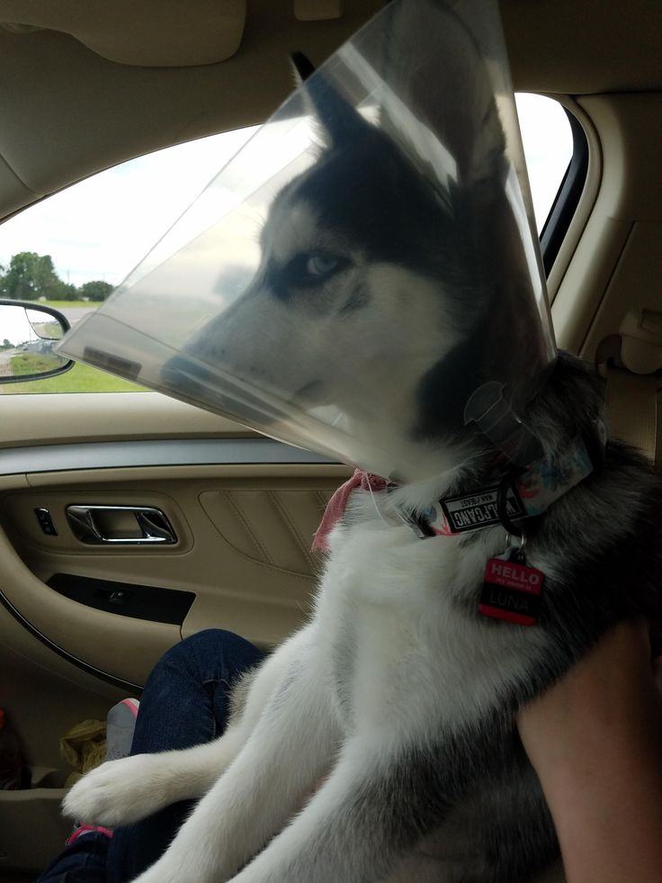 [Humor] brought our husky to get spayed this morning I'm pretty sure she is plotting my death