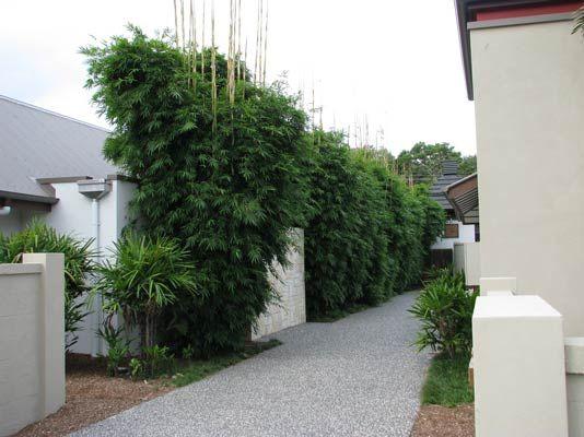 Graceful 'Bambusa textilis gracilis'