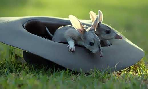 Baby Bilbies also known as Australian Bush Babies. The ...