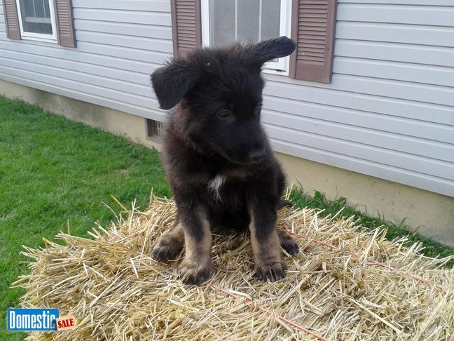 AKC German Shepherd Puppies We have 3 AKC female German Shepherd puppies. Born 5-20-17, will be available at 8 weeks around 7-15-17. Can see parents at ...