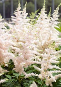 Astilbe 'Milk and Honey' - somewhat drought tolerant compared to other astilbe plants.