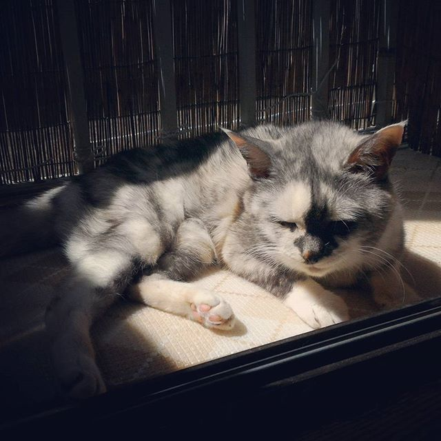 陽太ぼっこが気持ち良さそうな まだらさんですw  #猫 #cat #愛猫 #雑種 #陽太ぼっこ #光合成 #うたた寝 #うちのかわい子ちゃん