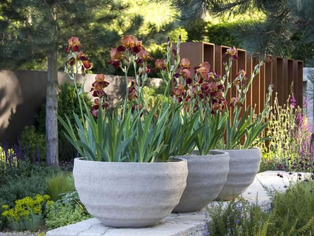 Spiky foliage and delicate petals of traditional English garden irises are paired with contemporary containers as old and new styles fuse together in garden design.