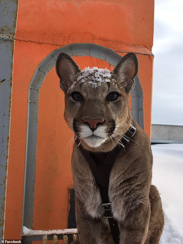 Uniquely tame' mountain lion named Messi who lives as a house pet