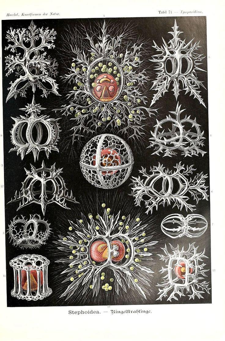 File:Kunstformen der Natur (Tafel 71) (6197326061).jpg