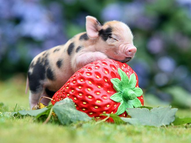 Micro-piglet from England's Pennywell Farm.Some little piggies go to market, some little piggies stay home, and some just head straight into our hearts and stay there forever. We're still squealing over this photo of a strawberry-hugging micro-piglet from England's famous Pennywell Farm, where swine are specially bred to be extra, extra small and friendly.