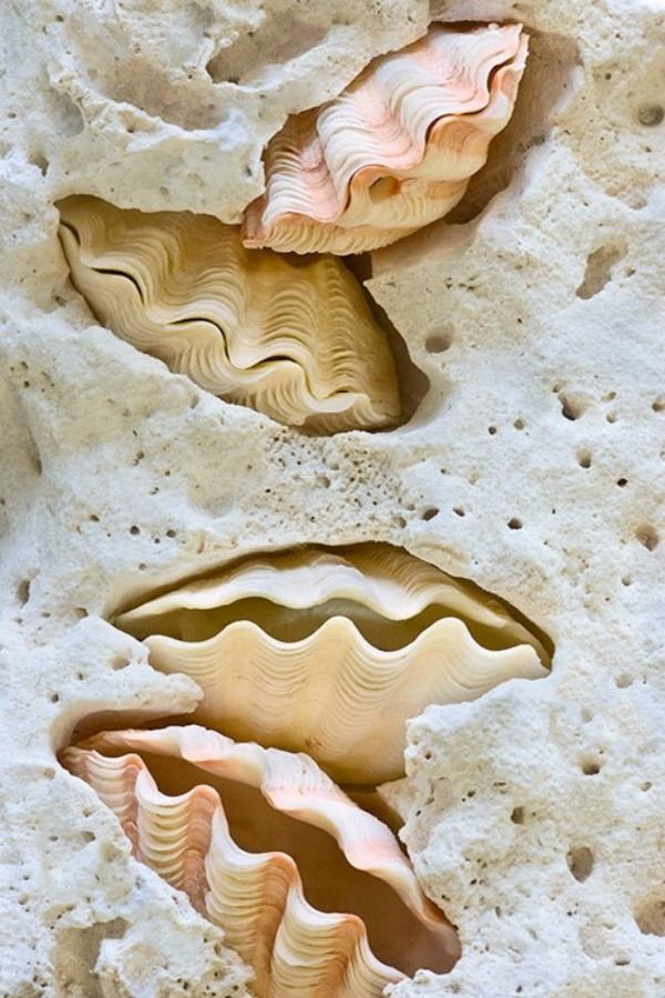clam shells in coral
