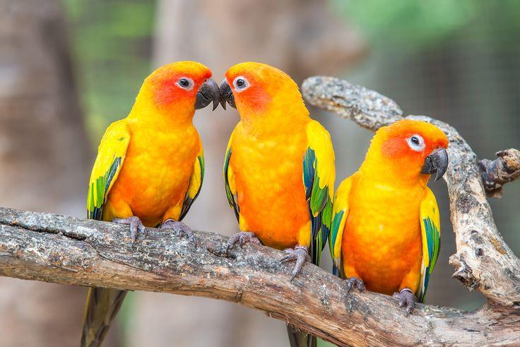 Wellensittich, Papagei, Pfirsichköpfchen: Das ist wichtig für eine artgerechte Haltung von Vögeln.