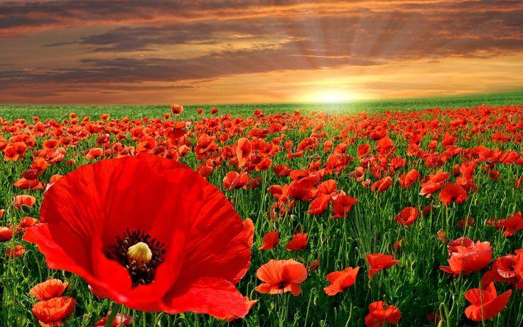 Poppy Fields At Sunset - 1920x1200