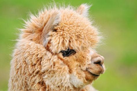 Alpaga <3    L'alpaga est un mammifère domestique membre de la famille des petits camélidés, comme le lama, le guanaco et la vigogne. Comme ces derniers, il rumine mais n'est pas classé dans la famille des ruminants. Selon leur pelage on distingue deux types d'alpagas : les suris et les huacayas.