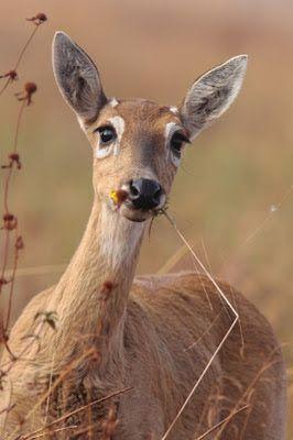 Caliandra do Cerrado: Em extinção: Veado-campeiro Fauna Brsil