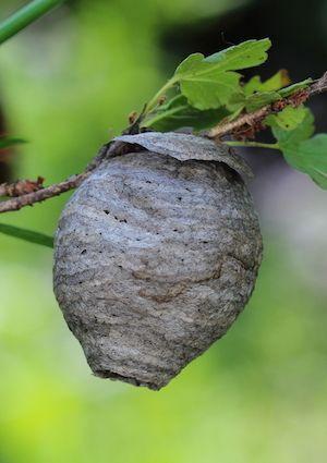 How to Get Rid of Wasps - Bob Vila