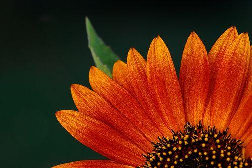 Burnt orange sunflower (Flower) | Please NO MULTI INVITATION… | Flickr