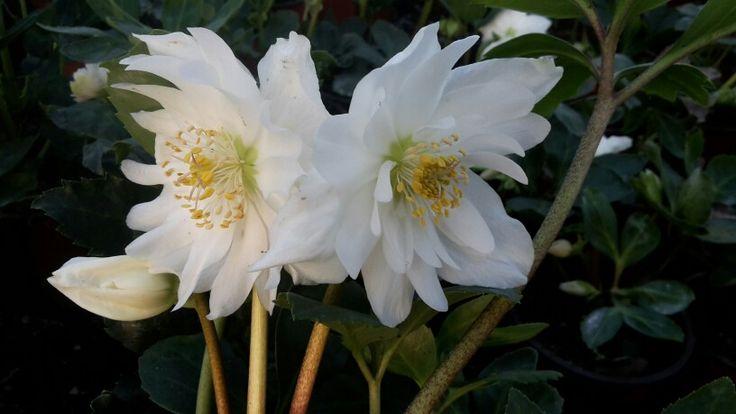 Niger Double Ellen flowers