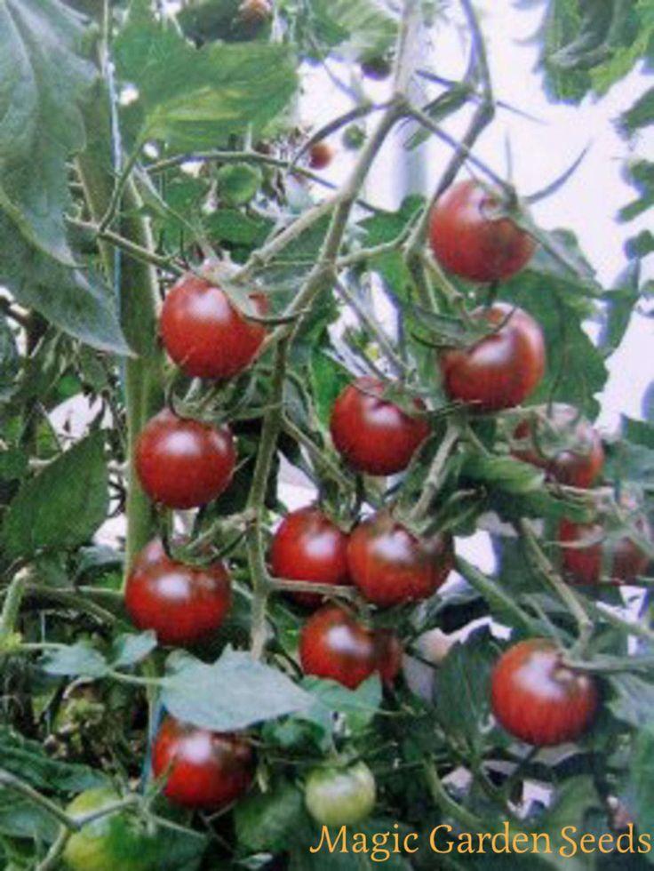 Übersicht schwarze Tomaten-Sorten (Solanum lycopersicum) - Samen & Saatgut von Magic Garden Seeds