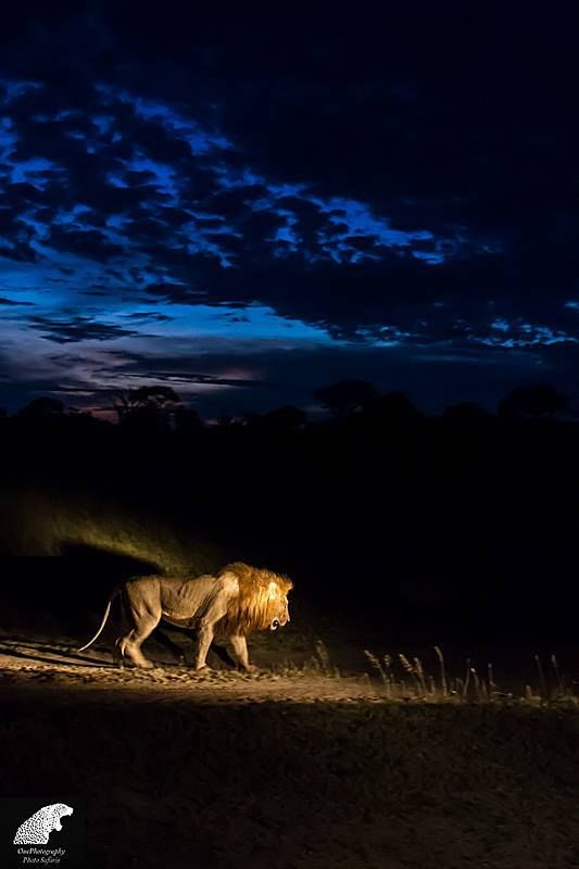 A lion in the spotlight and ready for the nights hunt at Sabi Sands Game Reserve, South Africa  by John de Jager Website